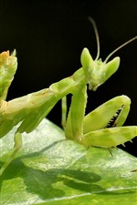 Preview iPhone wallpaper Green insect, mantis
