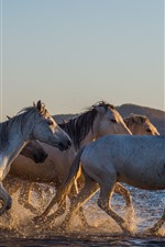 Preview iPhone wallpaper Horses walking in the water