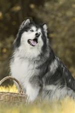Husky dog, grass, basket
