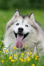 Preview iPhone wallpaper Husky dog, yellow flowers, grass