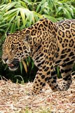 Jaguar, walk, bamboo