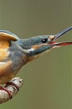 Preview iPhone wallpaper Kingfisher open the beak