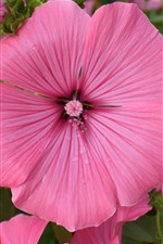 Preview iPhone wallpaper Lavatera, pink flowers