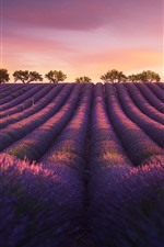 Preview iPhone wallpaper Lavender, evening, trees, dusk