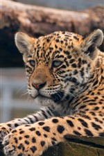 Preview iPhone wallpaper Leopard, cute animal