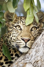 Preview iPhone wallpaper Leopard, face, tree, leaves