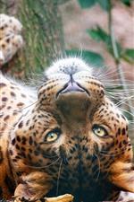 Preview iPhone wallpaper Leopard rest, look, wildlife