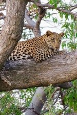 Preview iPhone wallpaper Leopard stay on tree