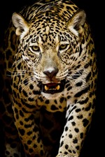 Preview iPhone wallpaper Leopard walk to you, black background