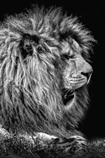 Preview iPhone wallpaper Lion, black background