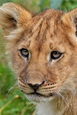 Lion cub look at you
