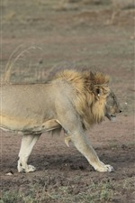Preview iPhone wallpaper Lion walking