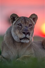 Preview iPhone wallpaper Lioness, wild cat, face, sunset