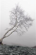 Árvore solitária, vidoeiro, rochas, nevoeiro, manhã