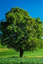 Lonely tree, green fields, summer