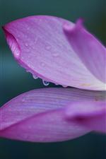 Preview iPhone wallpaper Lotus, pink petals macro photography