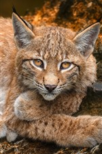 Preview iPhone wallpaper Lynx, look, rest, yellow eyes