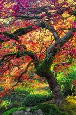 Preview iPhone wallpaper Maple tree, red leaves, autumn