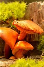Mushrooms, orange color