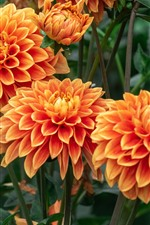 Preview iPhone wallpaper Orange dahlia flowering