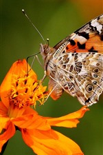 Preview iPhone wallpaper Orange flowers and butterfly