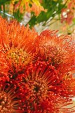 iPhone fondos de pantalla Flores naranjas, pétalos, crisantemo
