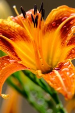 Preview iPhone wallpaper Orange petals, lily, close-up, water droplets