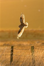 Owl flight, fence, grass, sunshine