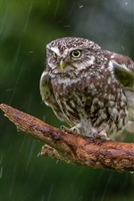 Preview iPhone wallpaper Owl in the rain