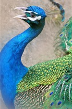 Peacock, beautiful tail feathers