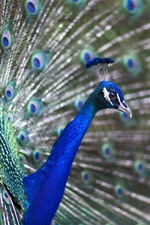 Preview iPhone wallpaper Peacock open tail, feather