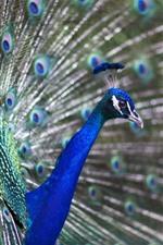 미리보기 iPhone 배경 화면 공작의 열린 꼬리, 깃털