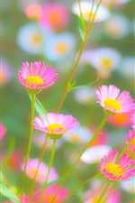 Preview iPhone wallpaper Pink and white chrysanthemum, hazy, spring