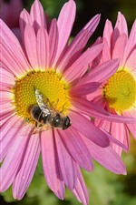 Pink chrysanthemum, petals, bee