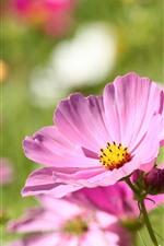 Cosmos rosa, flores da primavera