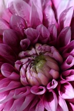 Pink dahlia macro photography, water droplets