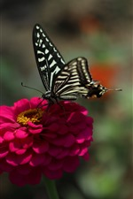Pink flower, black butterfly, spring