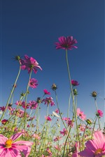 Preview iPhone wallpaper Pink flowers, cosmos, blue sky
