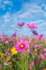 Preview iPhone wallpaper Pink flowers, cosmos, meadow, summer