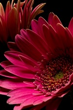 Preview iPhone wallpaper Pink gerbera flower, petals, black background