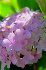 미리보기 iPhone 배경 화면 핑크 수국, 꽃이 핌, 봄