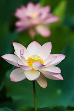 Preview iPhone wallpaper Pink lotus, flowers, green leaves