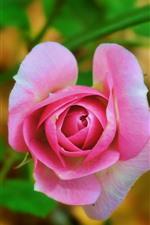 iPhone壁紙のプレビュー ピンクのバラの花、写真、花びら
