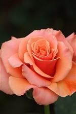 Preview iPhone wallpaper Pink rose, petals, bokeh