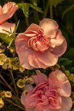 iPhone fondos de pantalla Rosas rosadas y otras flores
