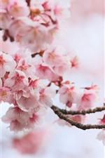 미리보기 iPhone 배경 화면 핑크 사쿠라, 화, 봄, 개화