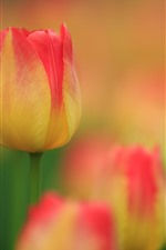 Pink yellow petals tulips, hazy