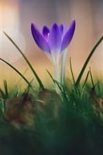 Preview iPhone wallpaper Purple crocus, flower, spring