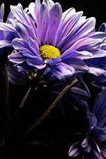 Purple gerbera flowers, black background