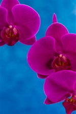 Preview iPhone wallpaper Purple phalaenopsis, petals, blue background